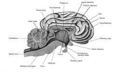 sheep brain dissection pineal body 4th ventricle. Black Bedroom Furniture Sets. Home Design Ideas