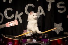 Oh my heavens. A cat circus. No really. Domestic cats... doing tricks. Walking on balls, jumping through hoops, playing drums???? Videos at the link, plus tour schedule further in
