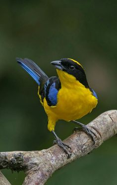 アオバネヤマフウキンチョウ  Blue-winged Mountain-Tanager (Anisognathus somptuosus)