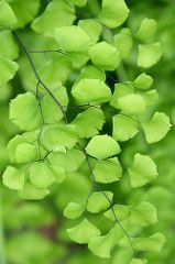 California Maidenhair Fern - Adiantum jordanii As its common name suggests, this is a California native species; in fact, Adiantum jordanii (Pteridaceae - Vittarioideae) is known only from California and Oregon in the United States, and from Baja. Ikebana, Go Green, Green Colors, Photographie Macro Nature, Nature Verte, Maidenhair Fern, Nature Plants, Green Plants, Plant Decor