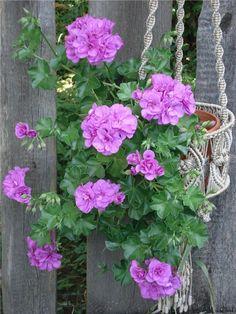 PAC Blue Sybil #pelargonium