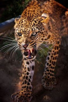Angry and furious Leopard
