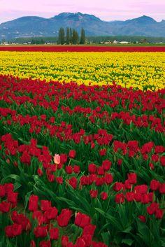 The heart of the Skagit Valley tulip fields in Mt Vernon, Washington Tulips Garden, Tulips Flowers, Flowers Nature, Daffodil Bulbs, Strange Flowers, Tulip Fields, Garden Park, Beautiful Rose Flowers, Flower Phone Wallpaper