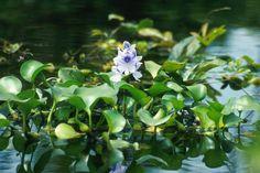 A Eichhornia crassipes (Mart.) Solms pertence a família botânica Pontederiaceae ficou conhecida por diversos nomes populares diferente...