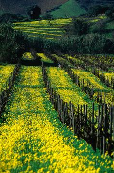 Yellow flowers amongst vineyard vines, Andalucia, Spain.  Photo: Mason Florence, Lonely Planet Images