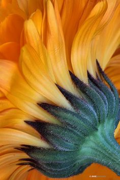 Sunflower - like a paintbrush Happy Flowers, Beautiful Flowers, Sun Flowers, Beautiful Textures, Foto Macro, Fleur Orange, Sunflowers And Daisies, Sunflower Art, Sunflower Colors