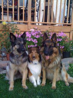 Sheltie and his German Shepherd friends