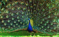 Resultado de imagen para pavo real