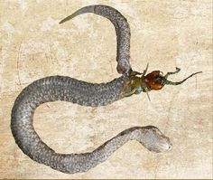 (Photo: Ecologia Montenegrina)  A herpetologist in Macedonia found this unusual scene on Golem Grad. They suspect that a female nose-horned viper tried to eat a centipede. It got the centipede down its throat, but the centipede fought back, eventually killing the snake. Then the centipede began to eat its way out of the snake. The centipede almost succeeded, breaking free from the snake's body, when the snake's venom finally killed it.