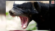 Image result for honey badger photos