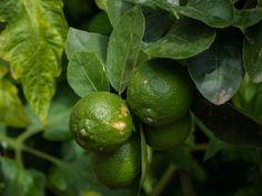 Limetten Pflanzen finden Platz auf jedem Balkon und jeder Terrasse. Wie Ihr Limetten pflegen und überwintern könnt, zeige ich Euch in diesem Beitrag.