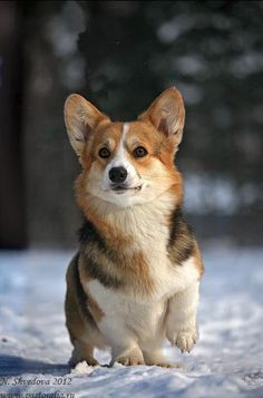 Welsh Corgi dog art portraits, photographs, information and just plain fun. Also see how artist Kline draws his dog art from only words at drawDOGS.com He also can add your dog's name into the lithograph.: