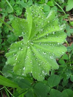Photo: Åse Margrethe Hansen I believe this is Alchemilla mollis, Lady's Mantle. It does capture dew drops and presents them as a gift.