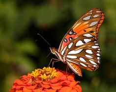 images gulf fritilary - Google Search