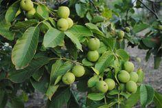 Украина вышла на первое место в Европе по экспорту ореховых зерен и цельных плодов