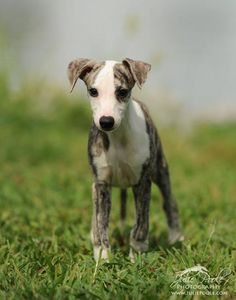 Whippet. By Julie Poole the BEST dog show photographer anywhere.