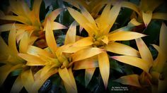 GUSMANIA  AMARELA -  ( Guzmania sp.)  Meu cantinho verde: Bromélias