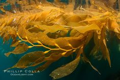 The Kelp Forest offshore of La Jolla, California. A kelp forest. Giant kelp -- inspiring photo, not for sale