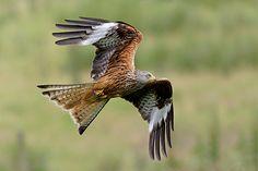 Red Kite - Mark Hancox Bird Photography
