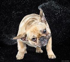 "Image: ""Vito"" the French Bulldog. (© Carli Davidson)"