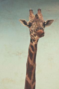 raeanna:    i've never enjoyed picking favorites of anything… but come on. giraffes.