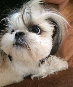Shih tzu eye and crazy hair!