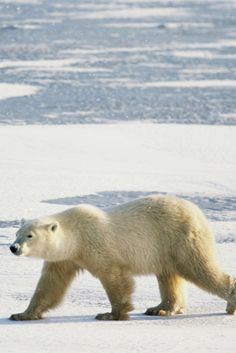 Polar Bear's Shocking Appearance May Be Tied To Climate Change #PolarBear
