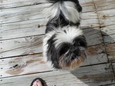 Super sweet Shi Tzu....looking for love.Plinko lived his first 9 years in a kennel, but is now free to show his love to you...and he's got a lotta love to give!Plinko is a very friendly and sweet boy.  He comes when called, follows you as you walk,...