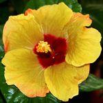 Hibiscus 'Citrine'