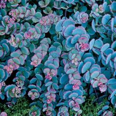 """Creeping Blue Sedum features round, blue foliage with a deep pink line, changing to all pink each winter. Variegated offers buttery yellow and silvery-blue oval leaves. 
