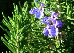 Rosemary. Ants will be attracted by it.