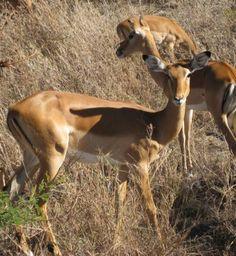 Impalas in the Serengeti.