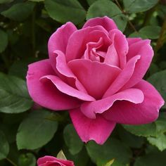 The original 'Knock Out' is one of the rose legends of our time. This single variety has convinced many people to start growing roses again, and to grow them with success and without chemicals. This lovely rose is 'Pink Double Knock Out'. #flowersofinstagram #growsomethinggreen #rose Photo by @pkukielski from the new book ROSES WITHOUT CHEMICALS.