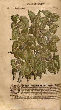 Morus alba L. [as Morum]   Mattioli, P.A., New Kreüterbuch, p. 112, fig. C,D (1563)-www.plantillustrations.org