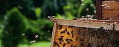 Lithuania, bee, beekeeping (Credit: Credit: Rambynas/Getty Images)