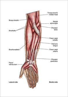 Forearm Muscle Anatomy, Human Muscle Anatomy, Forearm Muscles, Human Anatomy Picture, Muscular System Anatomy, Muscle Diagram, Extensor Muscles, Human Body Parts, Muscle Tissue