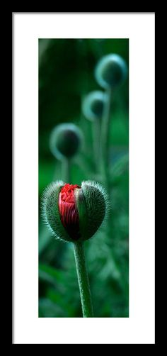 An oriental poppy is on the verge of bloom, with several others in line. Every photo is available as a Fine Art Print. Decorate your home or office with a high quality Canvas, Metal, Acrylic or Wood Print. Posters and matted and framed prints are also available.