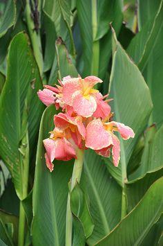 Peach Canna Lily