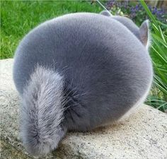 chinchilla butt