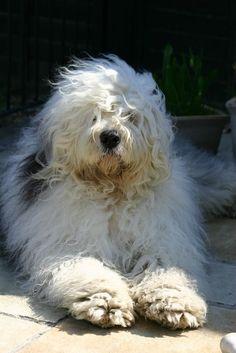 Rather Windswept Old English Sheepdog
