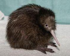 """Los kiwis (Apterix, gr. """"sin alas"""") son un género de aves paleognatas compuesto por cinco especies endémicas de Nueva Zelanda. Son aves no voladoras pequeñas, aproximadamente del tamaño de una gallina. Antes de la llegada de los humanos alrededor del año 1300, en Nueva Zelanda los únicos mamíferos que había eran murciélagos, y los nichos ecológicos que en otras partes del mundo eran animales tan diversas como caballos, lobos y ratones fueron utilizados por pájaros ( menor proporción por…"""