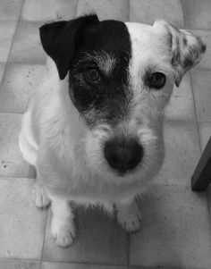 Kim want's something? Parson Russell Terrier, Friends, Dogs, Animals, Amigos, Animales, Animaux, Animal Memes, Animal