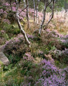lavender colored heather