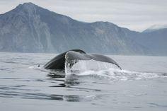 Whale Watching Plymouth, Massachusetts