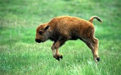Adorable Baby Bison Glossy Poster Picture Photo American Wood Plains Decor 416