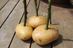 steel van 23 cm bladeren verwijderen en doornen in een aardappel stoppen,en elke dag water geven gedurend de zomer