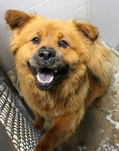 Teia: Smiling chow mix available July 1 for adoption at high-kill SC shelter