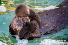 Wild Sea Otter Gives Birth at Monterey Bay Aquarium - ZooBorns