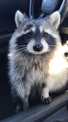 My friends little racoon is adorable via aww on September 27 2018 at Animals And Pets, Baby Animals, Funny Animals, Cute Animals, Wild Animals, Baby Raccoon, Racoon, Raccoon Animal, Unusual Animals