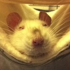 Rose the rat, snoozing in a hammock with her pretty smeeze nose sticking out. Funny Rats, Cute Rats, Hamsters, Rodents, Animals And Pets, Cute Animals, Little Critter, Creatures, Parrots